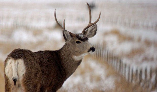 Mule deer CWD hunt