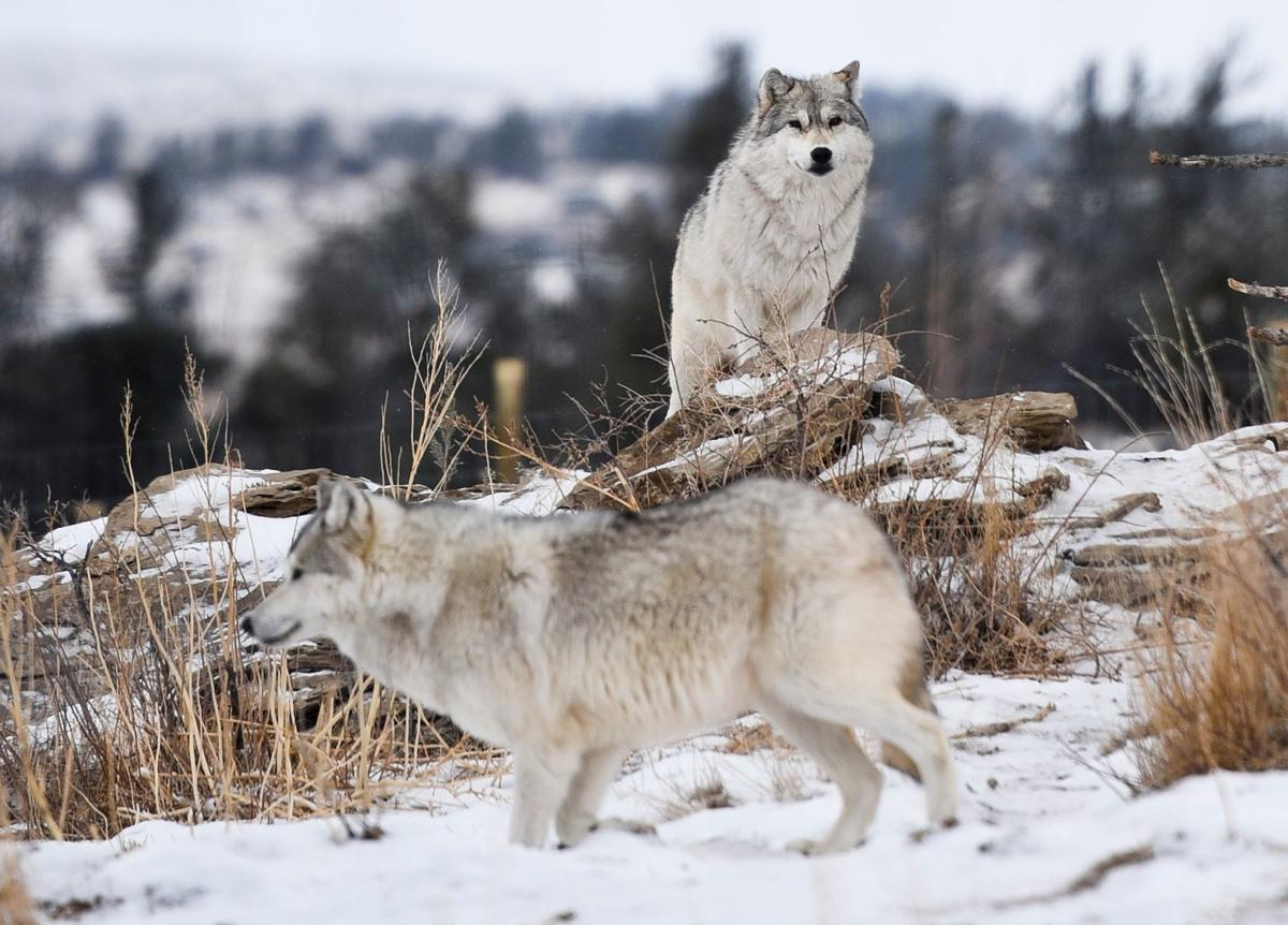 Captive wolves
