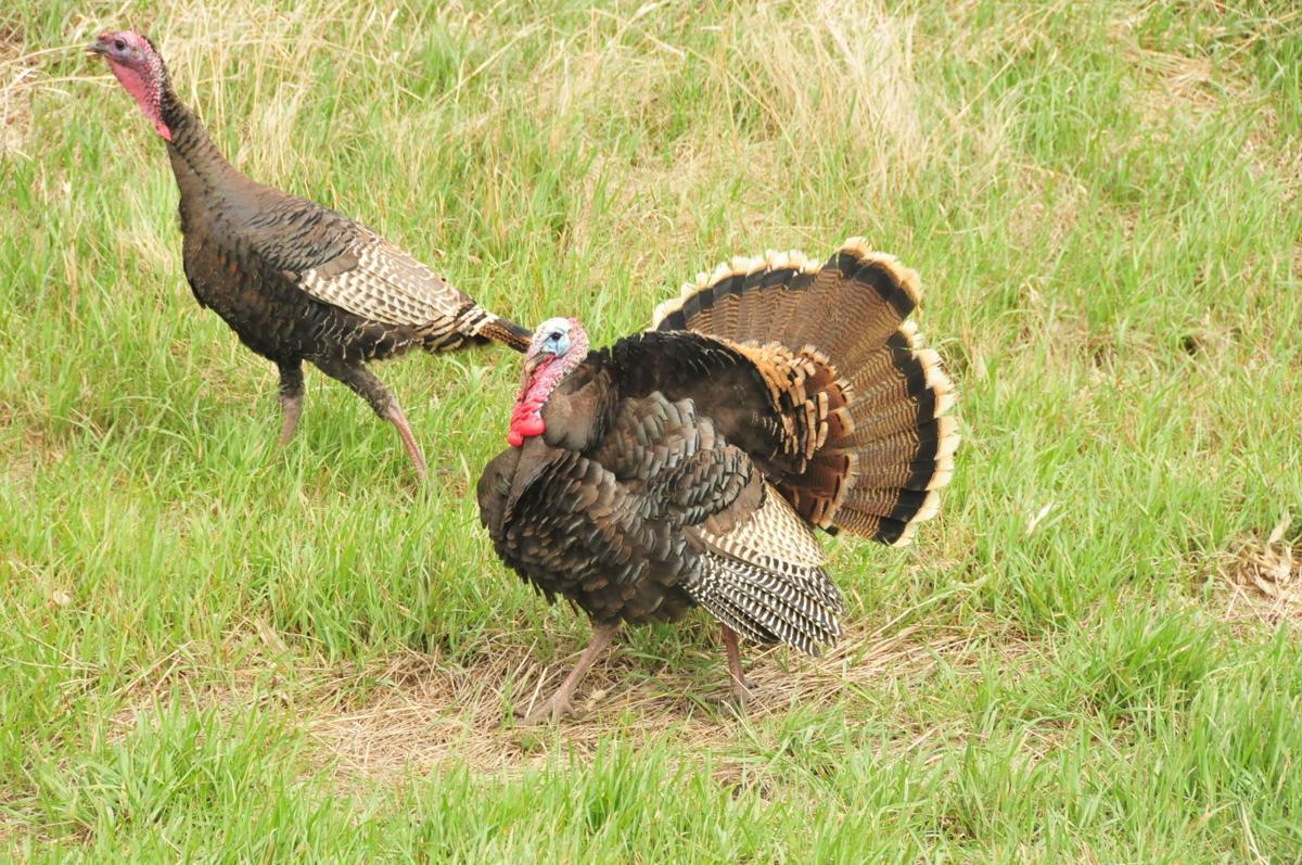 Merriam's Turkey