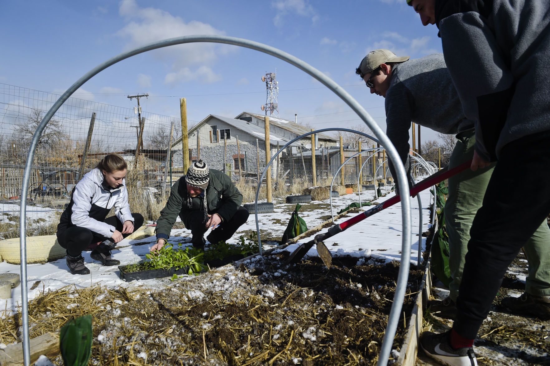 Photo - Professor Gerald Shafer and student Keely Ehmann, left, separate cilantro plants Wednesday while Jack Dunley and Zac Agee, right, prepare a garden bed for planting at the Helena Food Share garden.