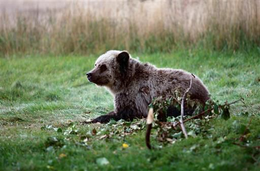 Human, bear conflicts on the rise in Northern Rockies