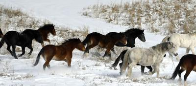 Ghost herd: Wild horses make rare appearance