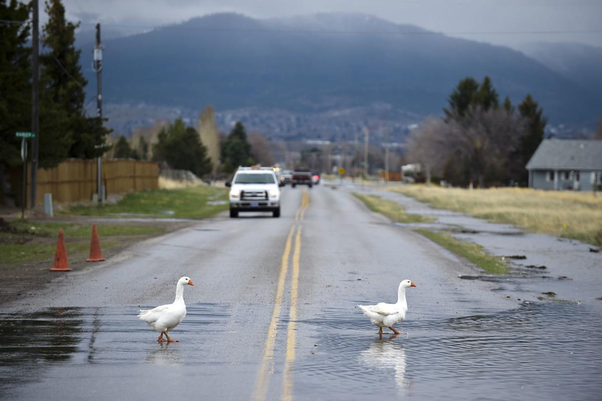 A pair of domestic geese cross McHugh Dr. Monday where flood waters have covered the roadway.