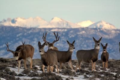 Mule deer on a migration in Wyoming.