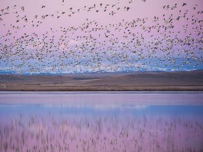 Frozen Freezout Lake may block annual white geese migration ...