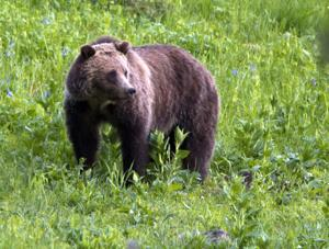 Appeal delayed on ruling that banned removal of endangered species status for grizzlies