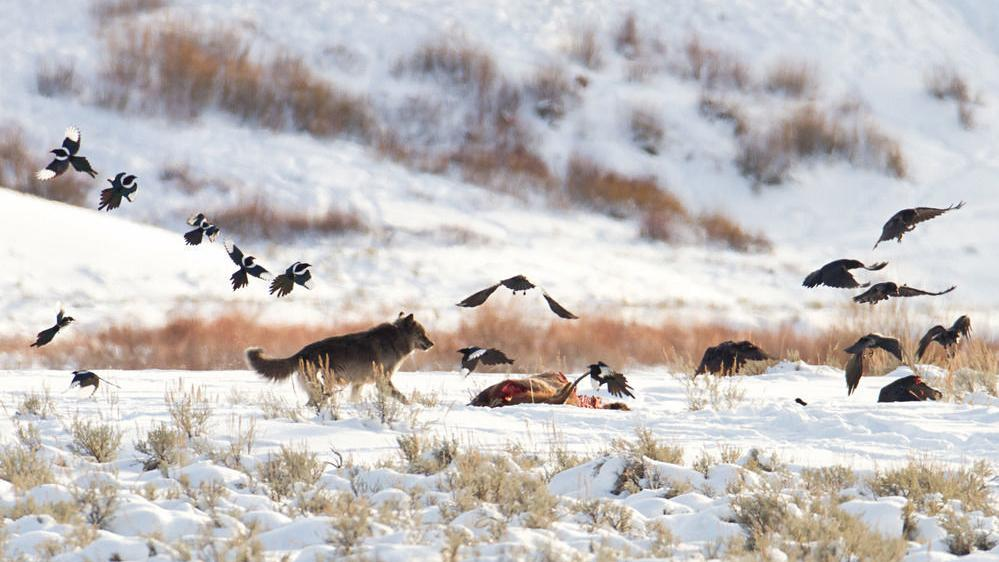 Yellowstone wolf's killing raises questions
