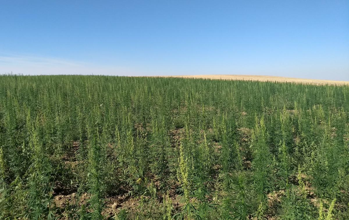 Hemp grows on a dry land farm