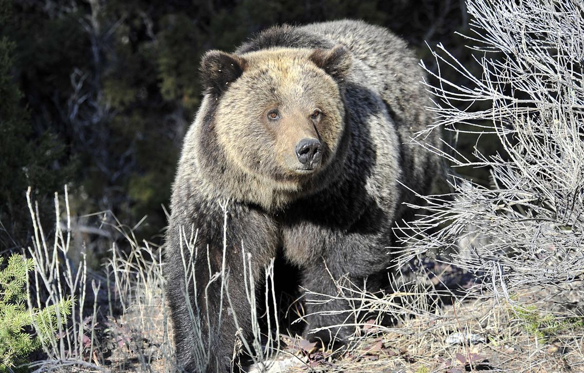Yellowstone grizzlies