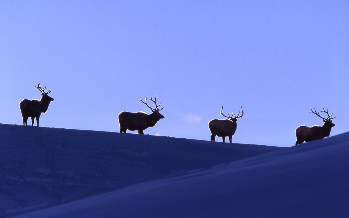 Bull elk on hilltop