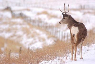 Mule deer bucks targeted