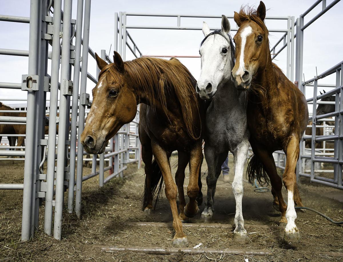 Seized horses