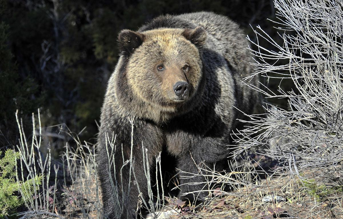 Opposition stalls end of Yellowstone grizzly protections