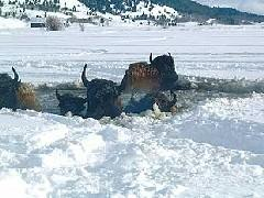 Yellowstone bison hazing goes bad: 14 animals fall through ice and 2 drown