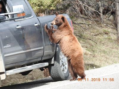 Bear touching vehicle