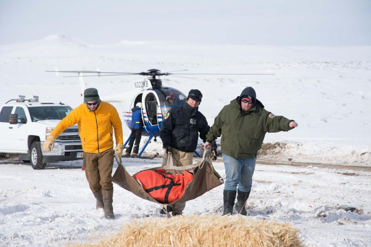 Bighorn capture