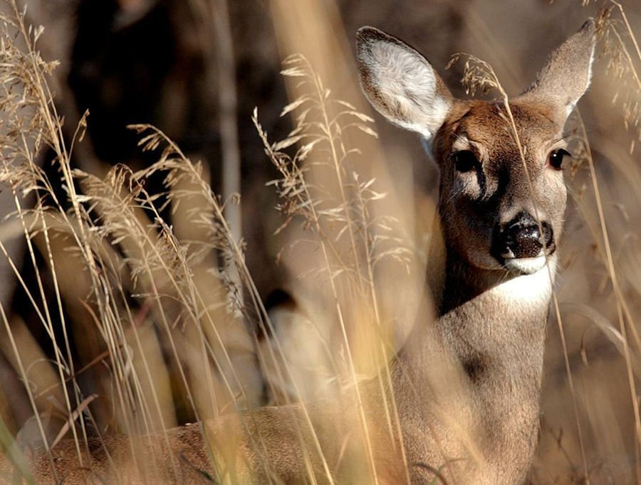 White-tailed deer (copy)