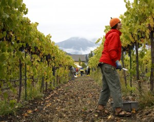 """Volunteer """"plucker"""" Bryce Young searches the vine for more grapes"""