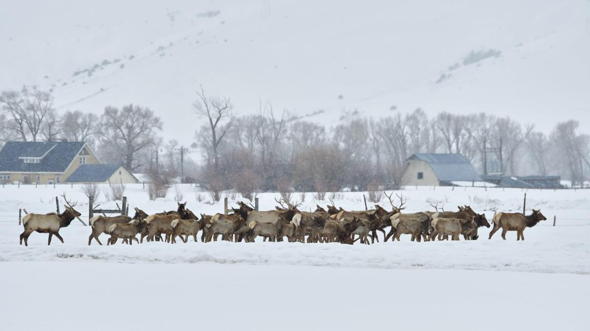 Elk Herd in the Snow