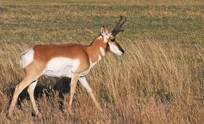 Pronghorn assist
