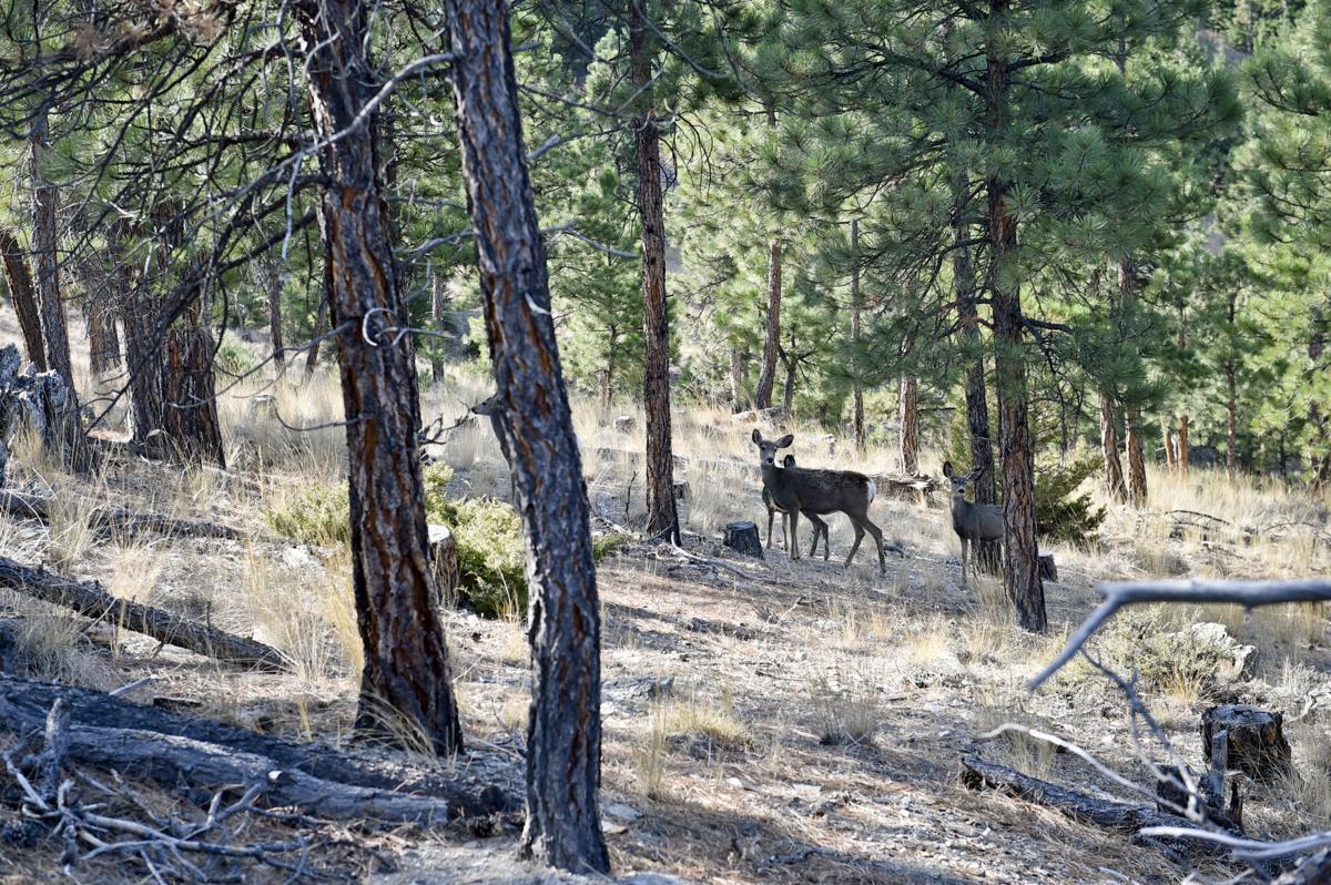 A group of mule deer