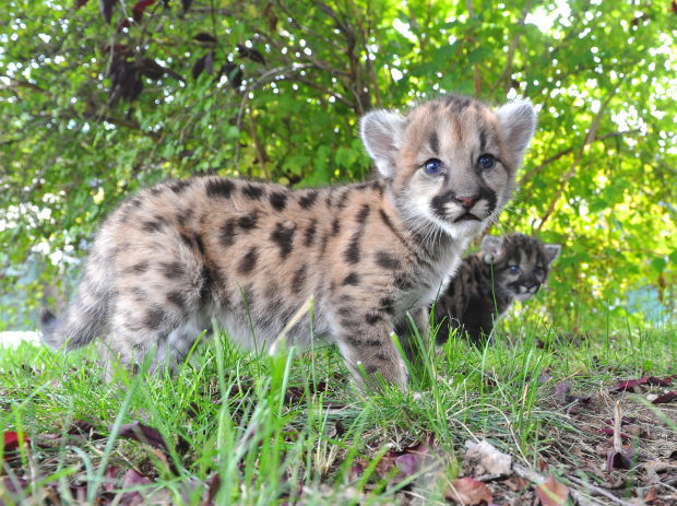 mountain lion kittens pictures