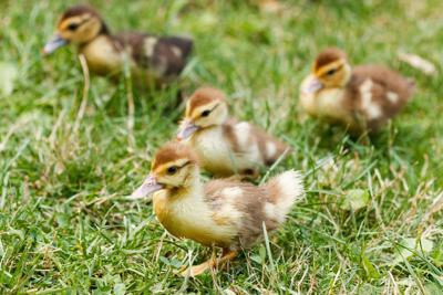 mallard ducklings stockimage