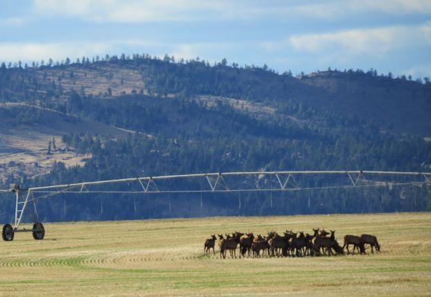 elk in field