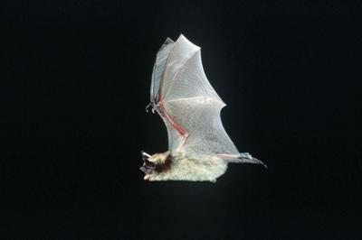 Little brown bat, one of 13 species found around Spokane.