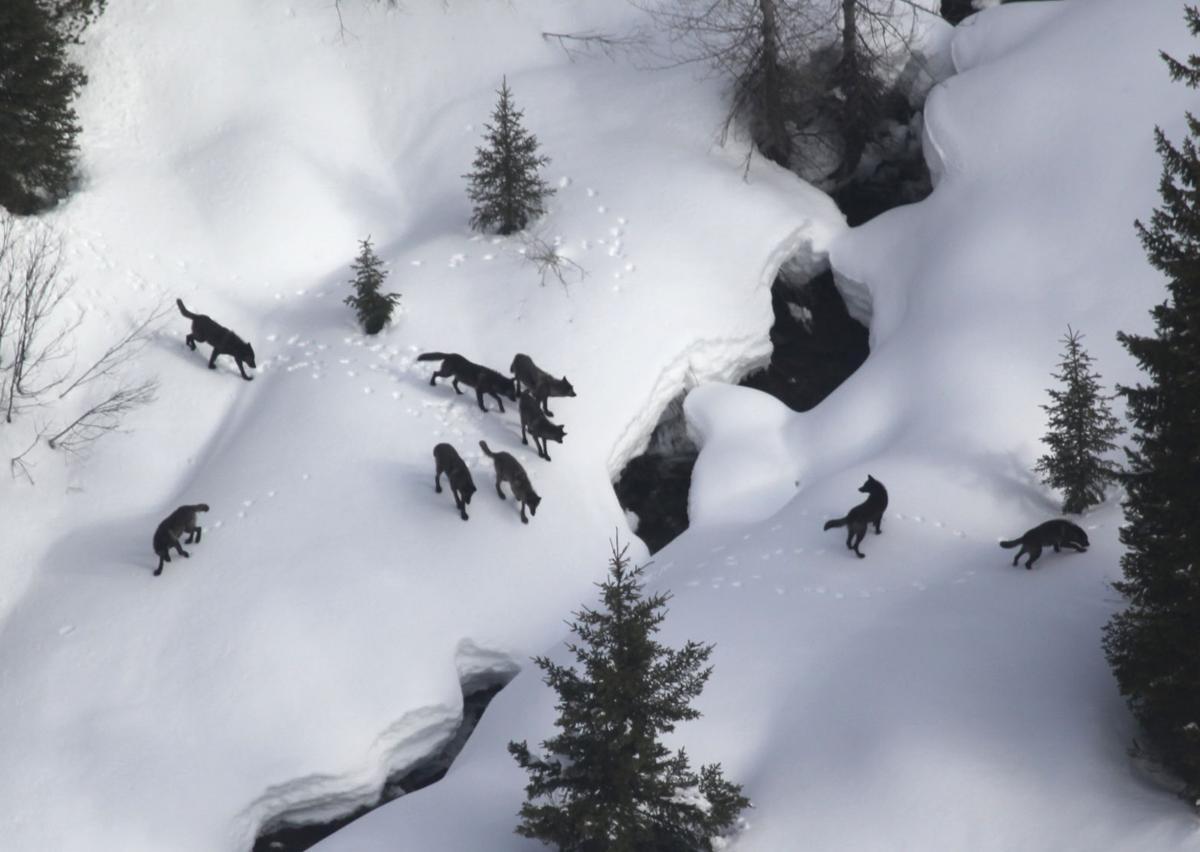Cache Creek Wolves
