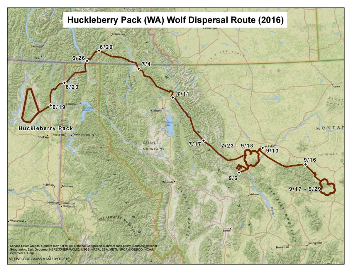 700-mile wolf dispersal