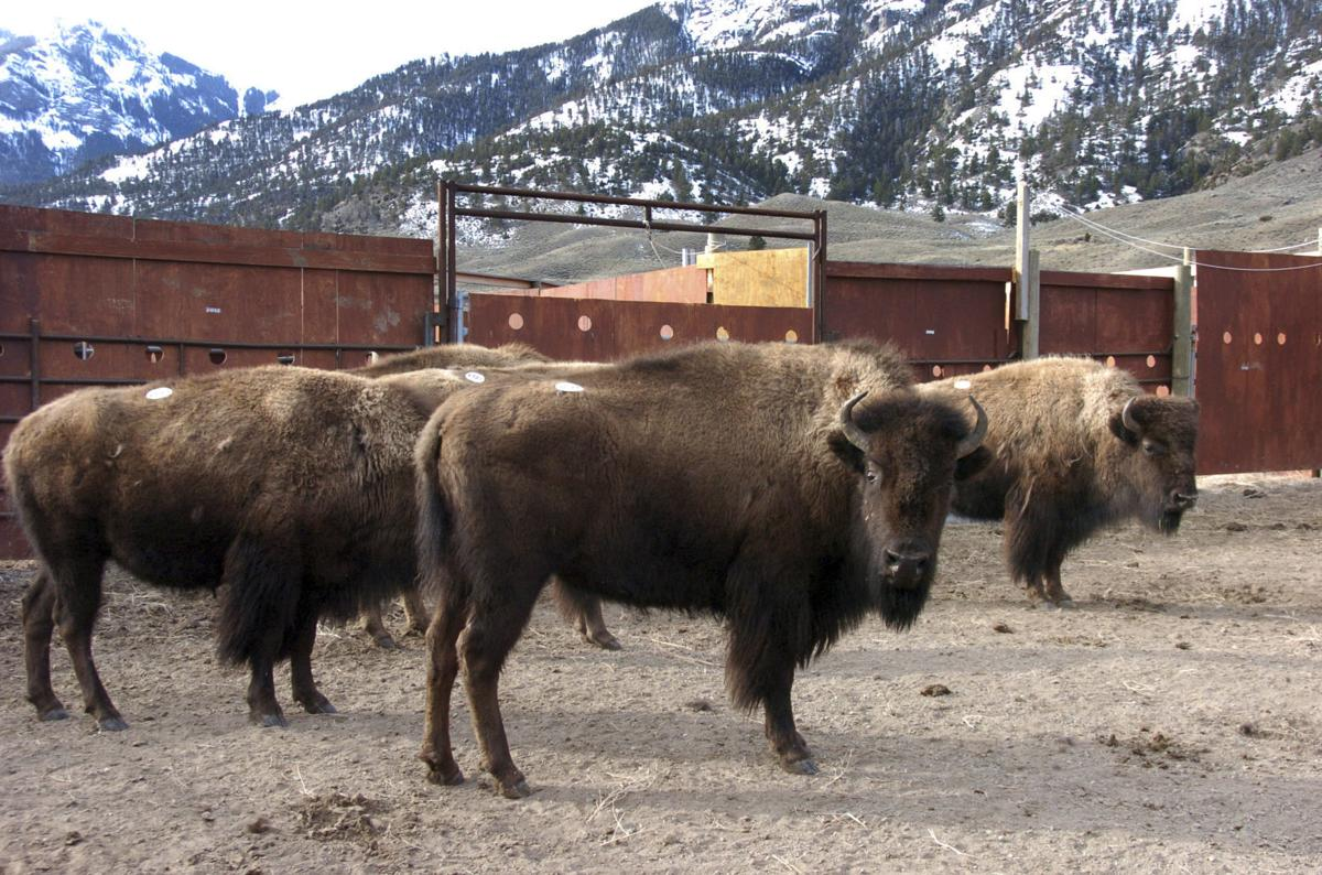 Yellowstone bison again escape holding pen, but most return