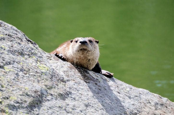 Stock image river otter