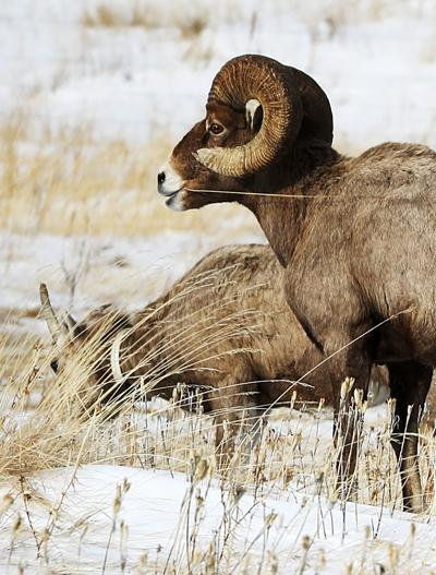 Bighorn Sheep make annual appearance