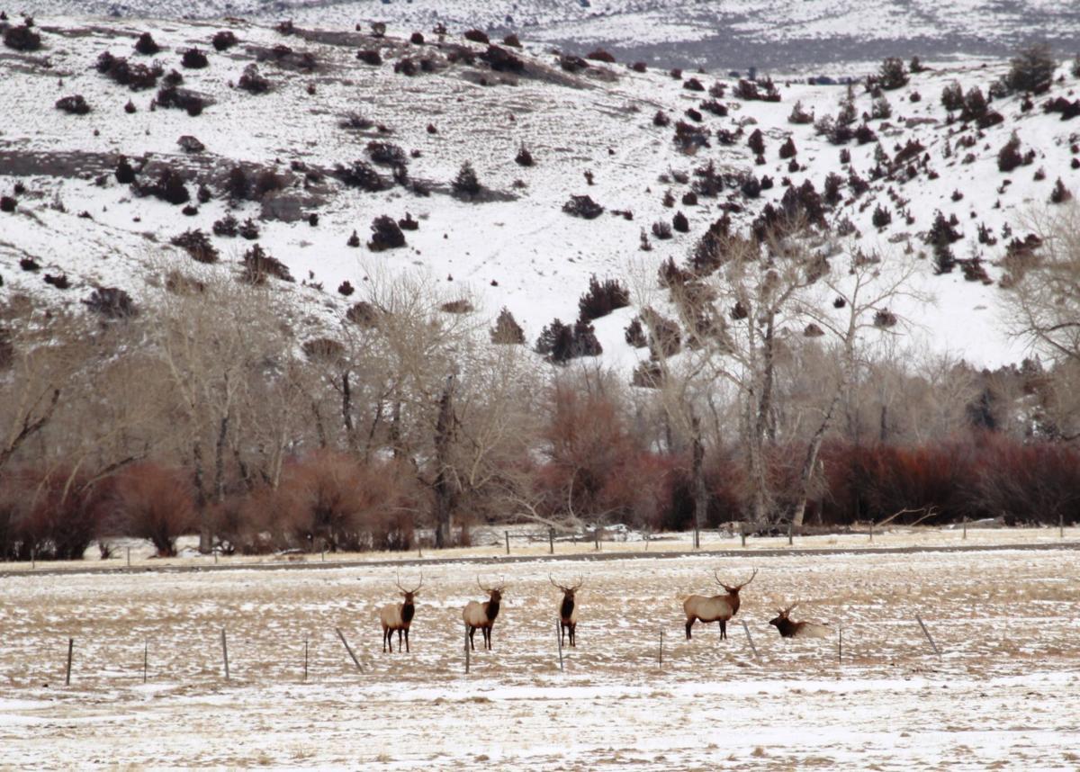 Herd of elk near Boulder