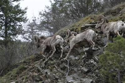 Pneumonia killing bighorn sheep at National Bison Range