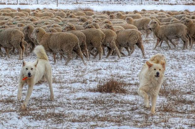 Flock guardians