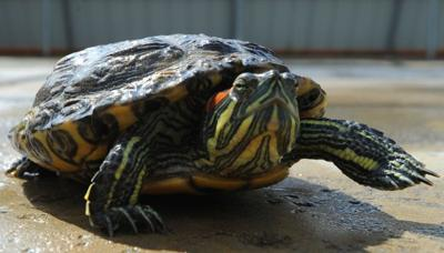 Red-eared slider turtle ban