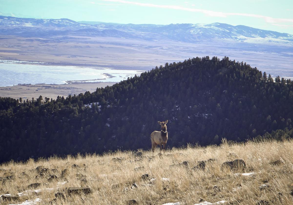 Elkhorn elk study