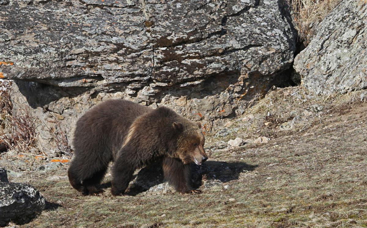 Grizzly bear walking north of the road near Sedge Bay