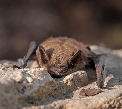 Little Brown Bat (Myotis lucifugus) (copy)