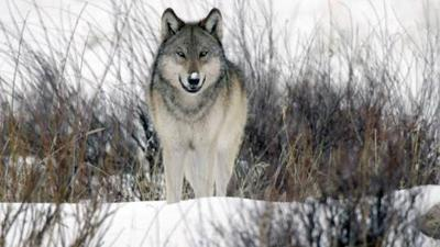 Yellowstone wolves