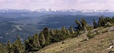 Whitebark pine trees on the slopes of Mount Washburn
