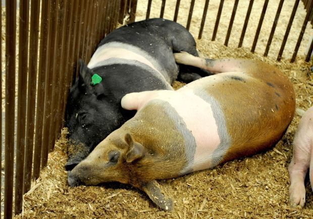 Two pigs rest together