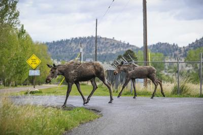 Photo: Why did the moose cross the road?