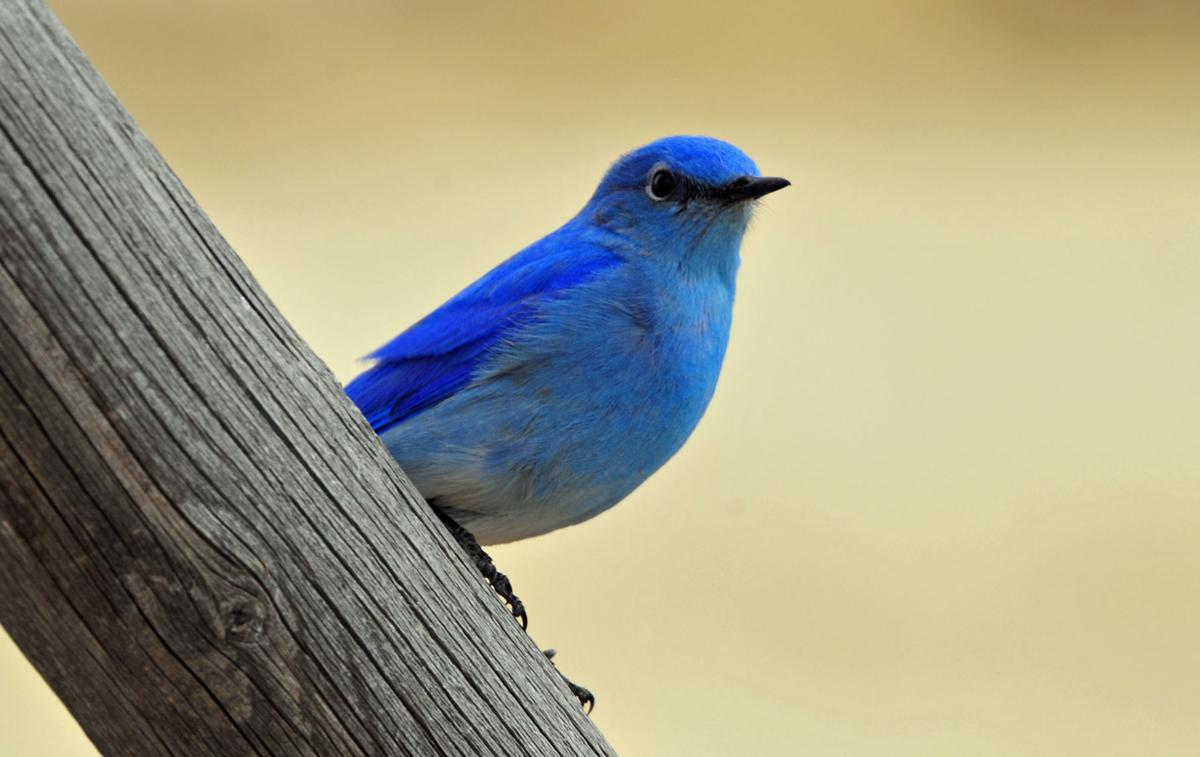 montana birding: bluebird is one of nature's finest | | helenair