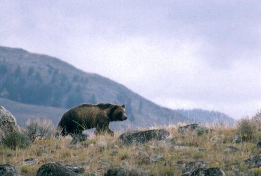 NRA, hunting group say grizzly bear hunts needed for safety