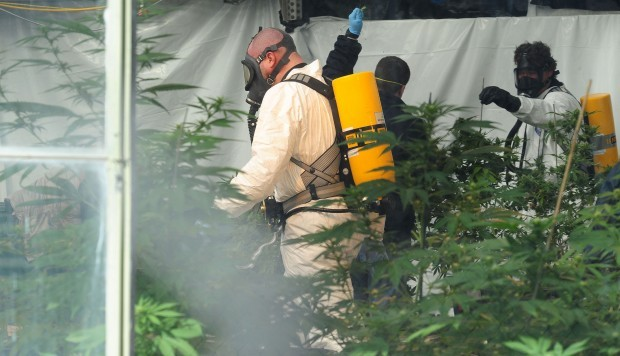 Mt Cannabis raid