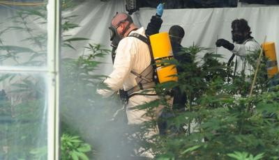Mt Cannabis raid