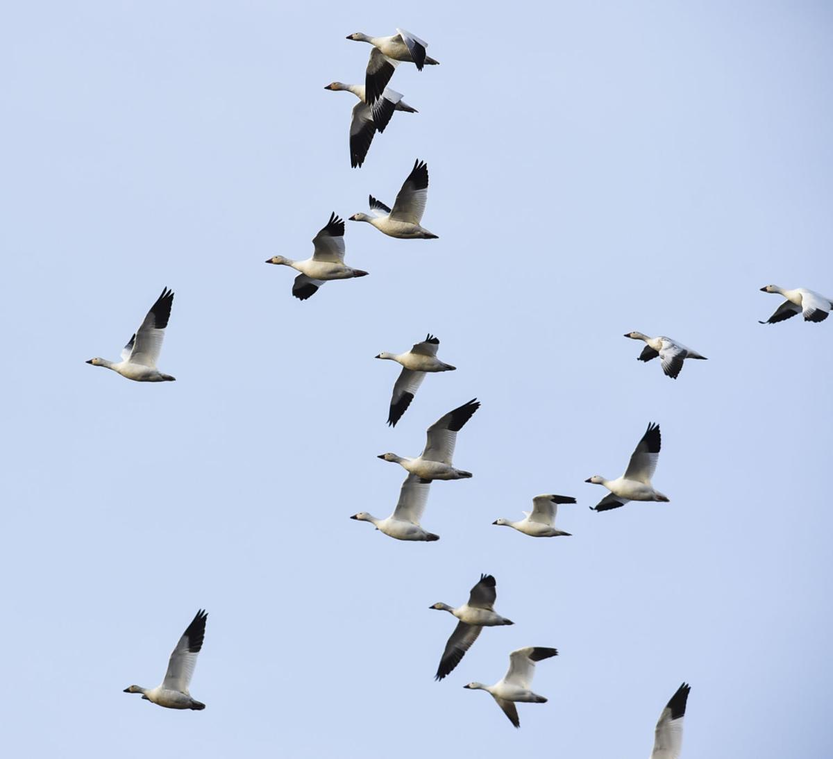 Freezout Lake Snow Goose Migration
